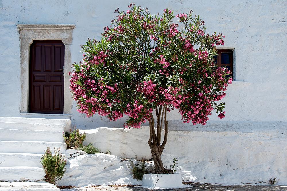 oleander foto bild europe greece cyclades. Black Bedroom Furniture Sets. Home Design Ideas