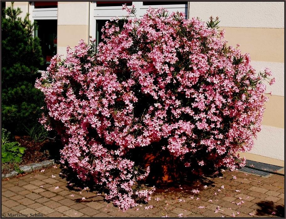 *Oleander*