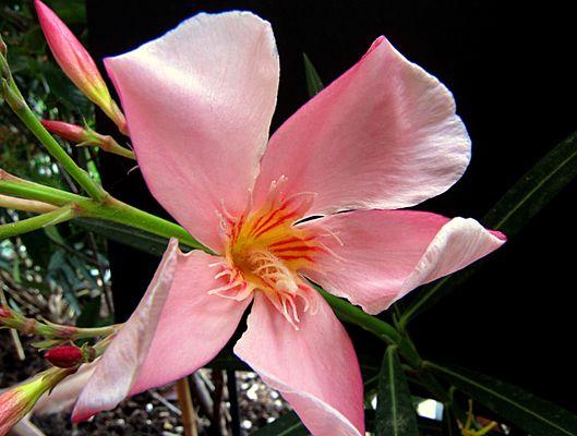 Oleander - Blüte