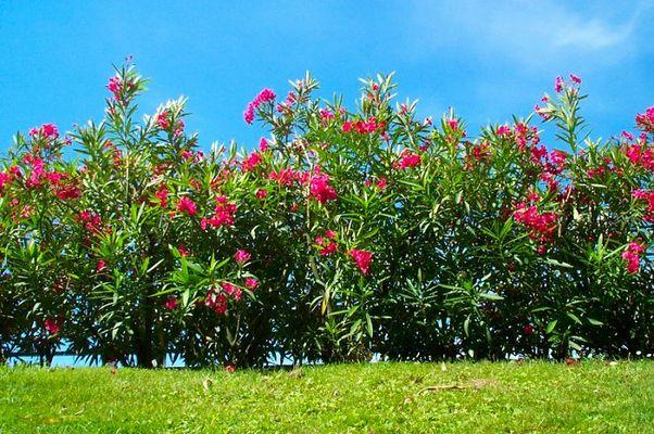 Oleander-Hecke