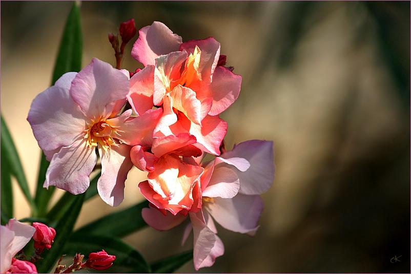 Oleander in der Provence