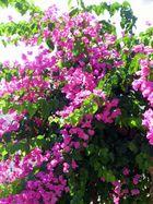 Oleander Kreta