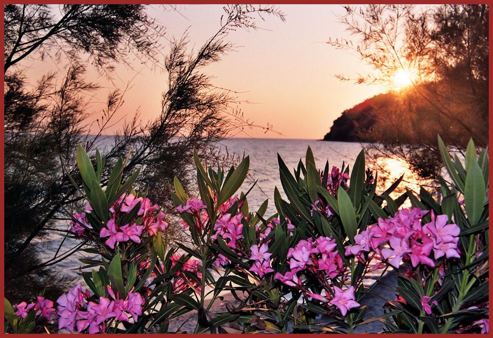 Oleander sunset
