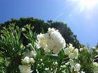 Oleander vor Pinien