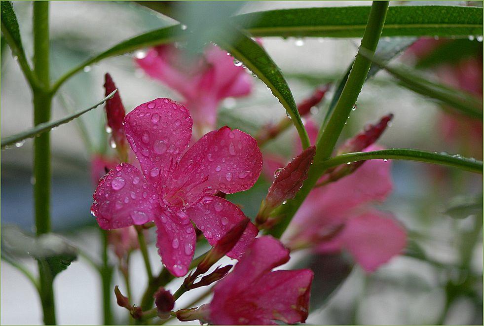 Oleanderdschungel