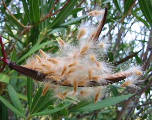 Oleandersamen