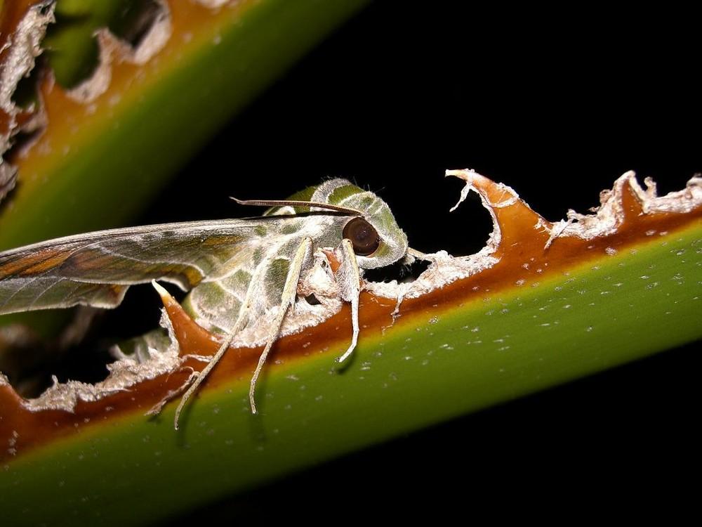 Oleanderschwärmer