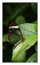 Oleria paula