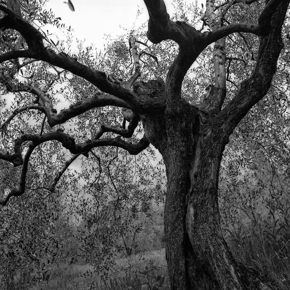 olive von Peter Caspers
