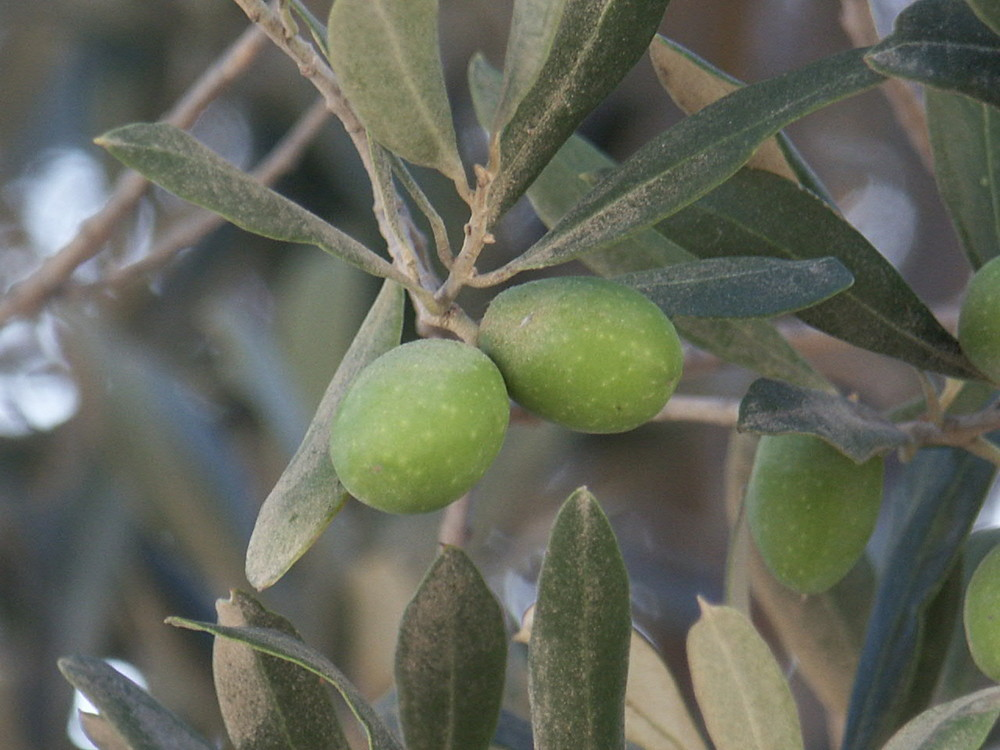 Oliven gefällig?