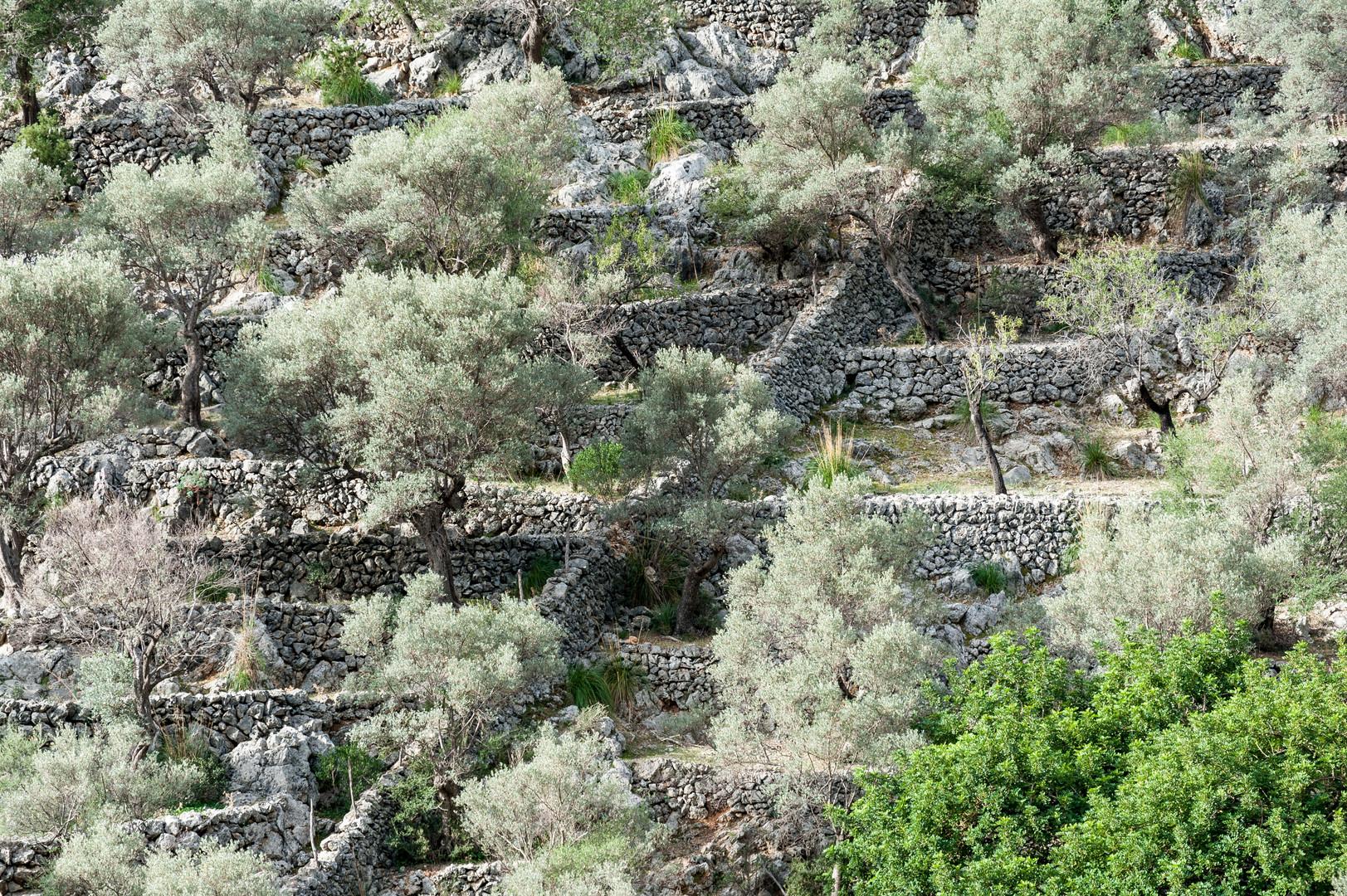 Oliven I