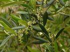 Oliven im Juni