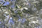 Oliven in Leonardos Garten