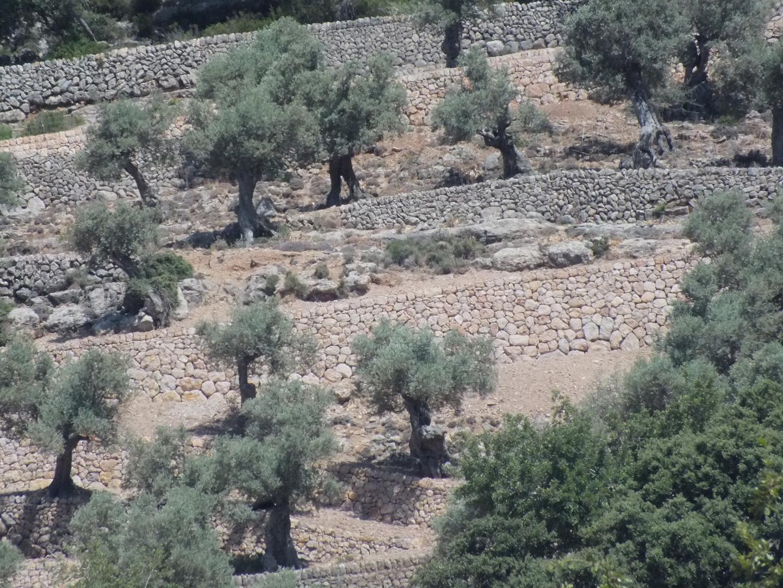 Oliven Plantage, Valldemosa