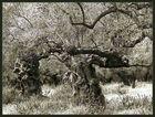 Olivenbäume (2)