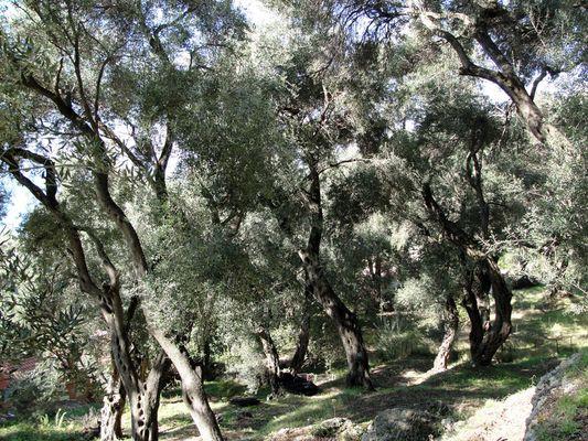 olivenbäume...