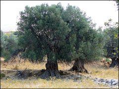 Olivenbäume auf Euböa