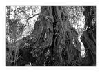 Olivenbäume auf Kreta II