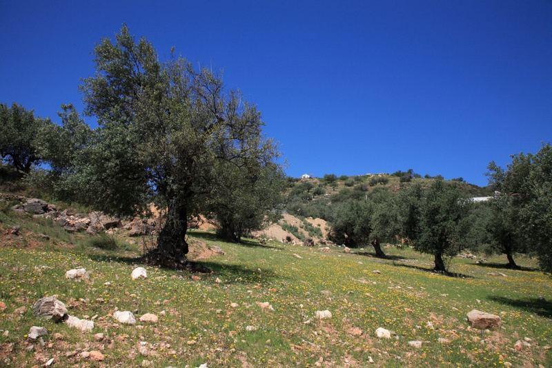 Olivenbäume in den Bergen