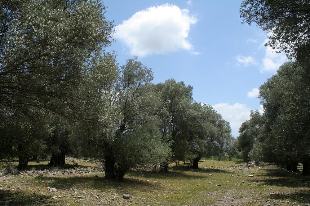 Olivenbäume und Überreste von Gortys