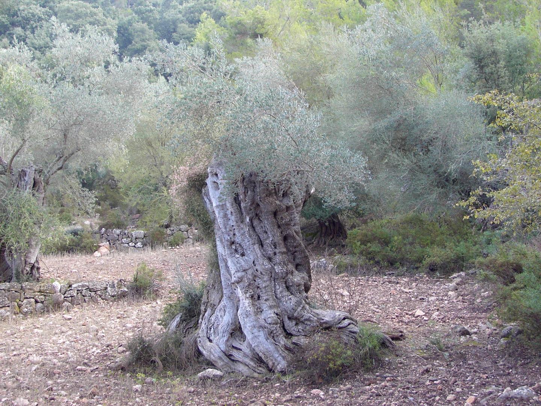 olivenbaum ..alter?...