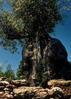 Olivenbaum auf Ibiza