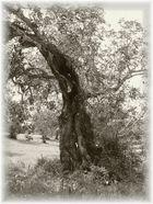 Olivenbaum auf Mallorca
