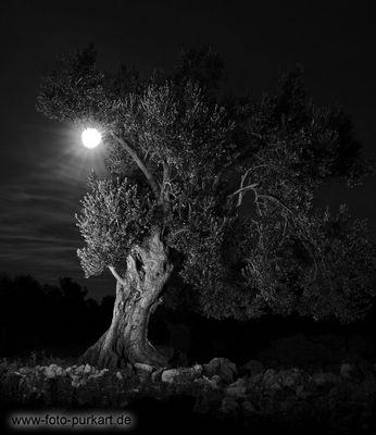 Olivenbaum im Mondschein..