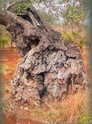Olivenbaum in Apulien