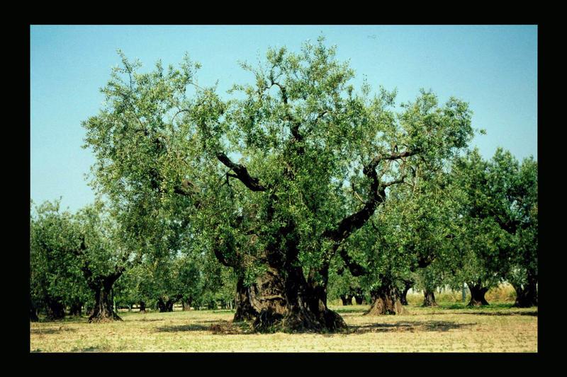 Olivenbaum Italien 2002