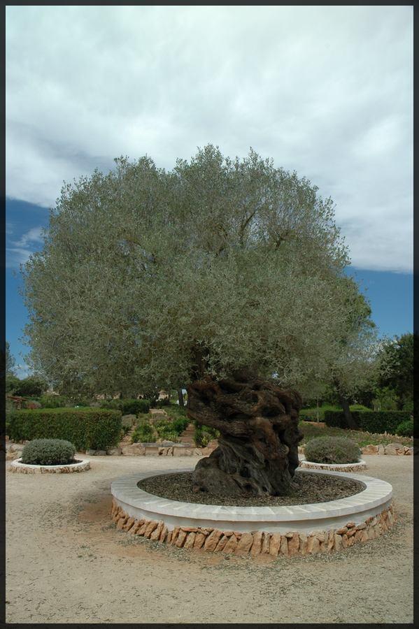 Olivenbaum ohne Schatten !!!!!!!!!!!!!