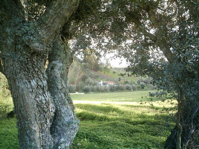 Olivenbaum und Haus im Herbst