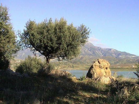 Olivenbaum vor der Sierra