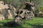 Olivenbaumstamm