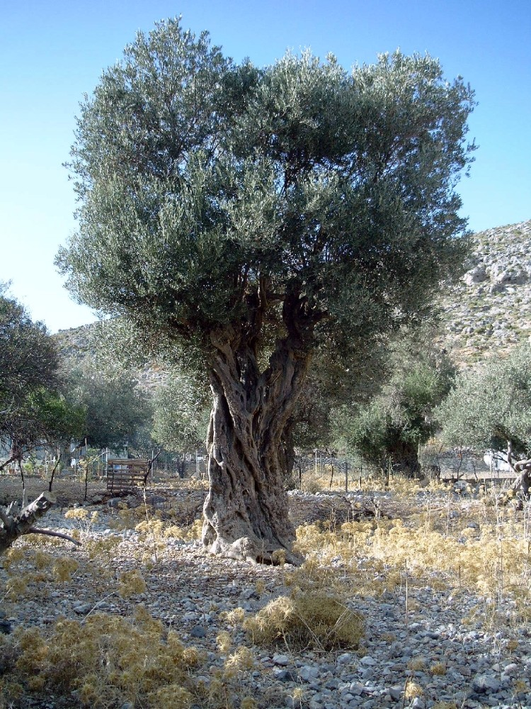 Olivenbaumtraum