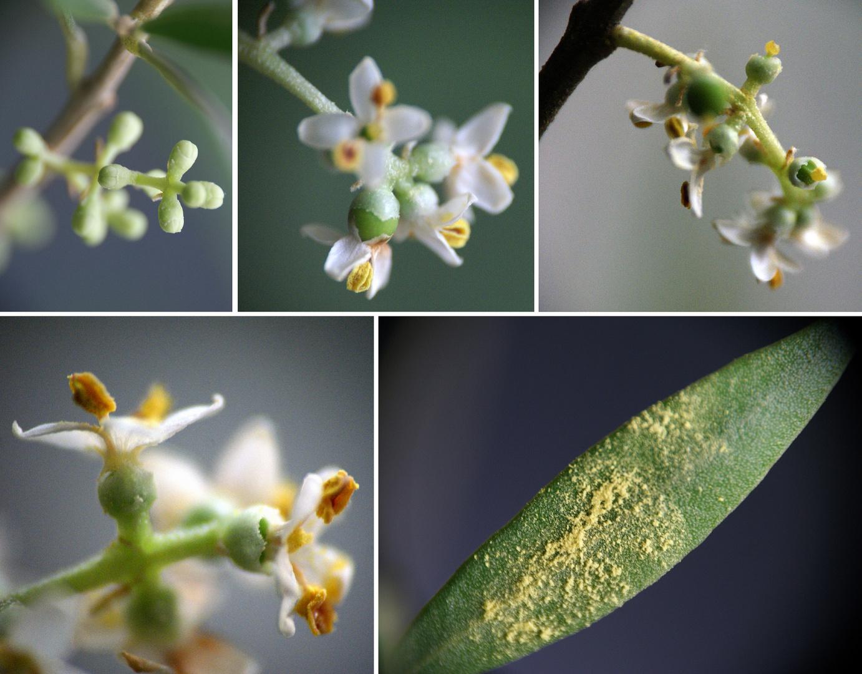 Olivenblüten mitten im Winter