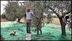 Olivenernte in Spanien...