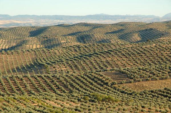 Olivenfelder in Andalusien
