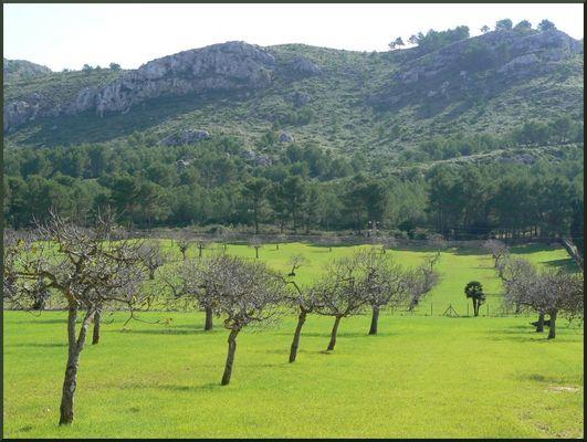 Olivenhain am Cap Formentor