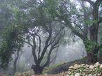 Olivenhain in den Wolken