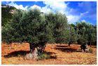Olivenhain in der Tramuntana