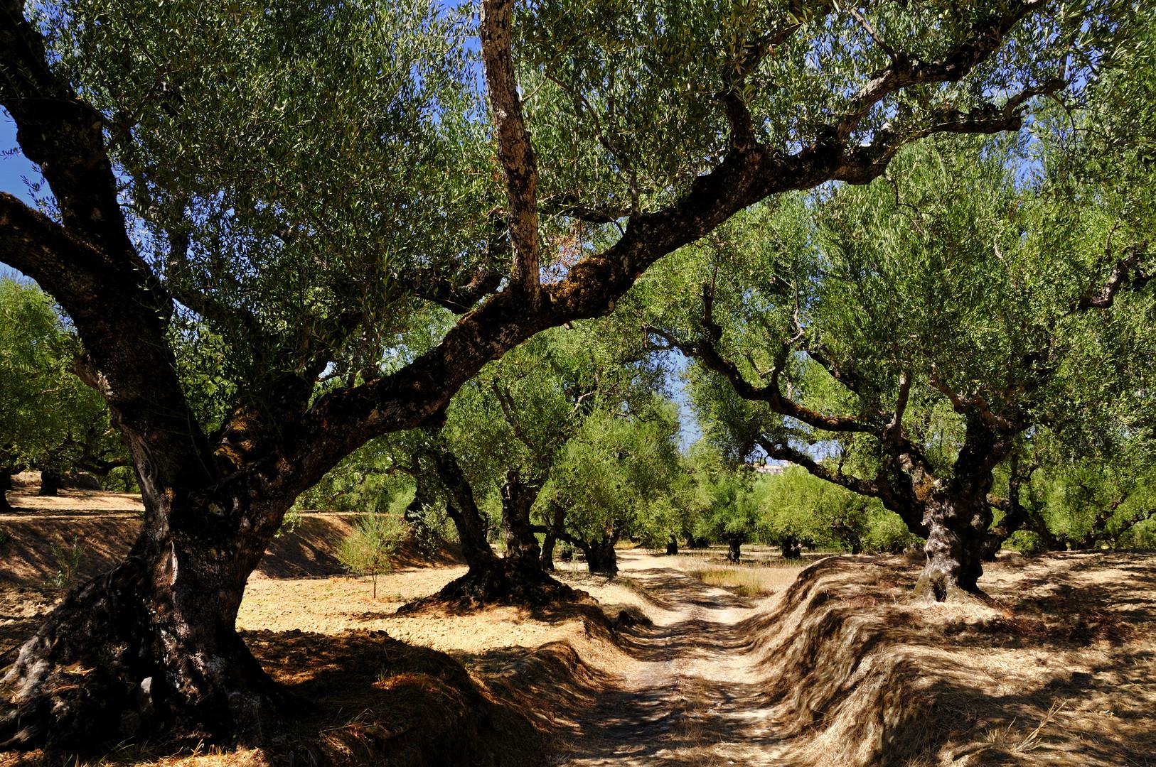 Olivenhain in Zakyntos