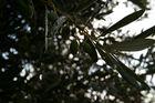 Olivenzweig nach reinigendem Regen