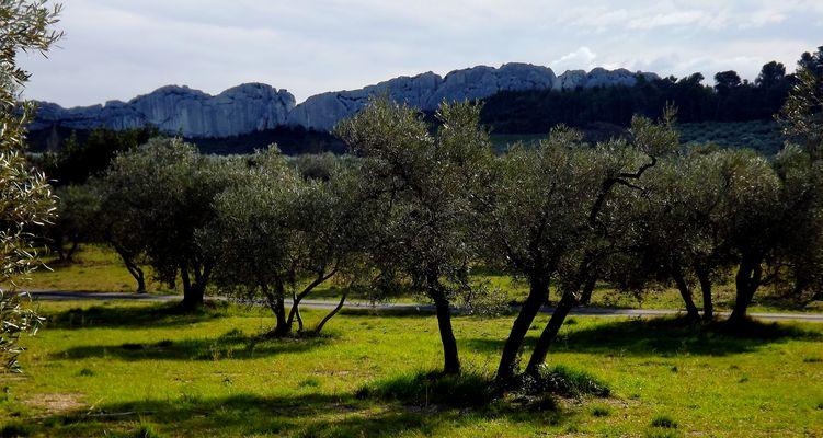 Oliviers à Mouriès (Bouches du Rhone)