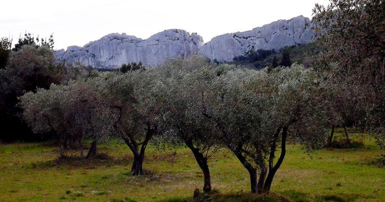 oliviers dans les Alpilles