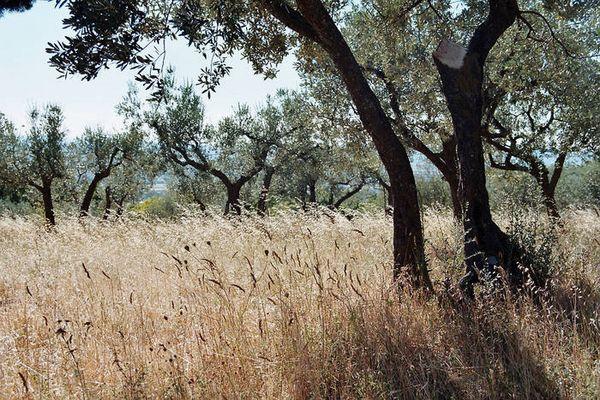 Oliviers en OMBRIE-Italy