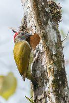 Olivmantelspecht (Piculus rubiginosus) Weibchen, Vulkan Arenal Nationalpark, Costa Rica
