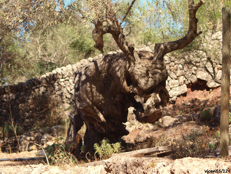 Olivo con forma de cabeza de buey (bou)