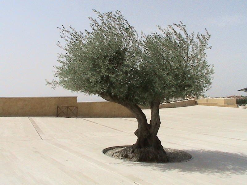 olivo santo