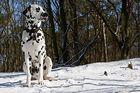 Ollie - ein Dalmatiner - und bald Fotografenhund ;-)